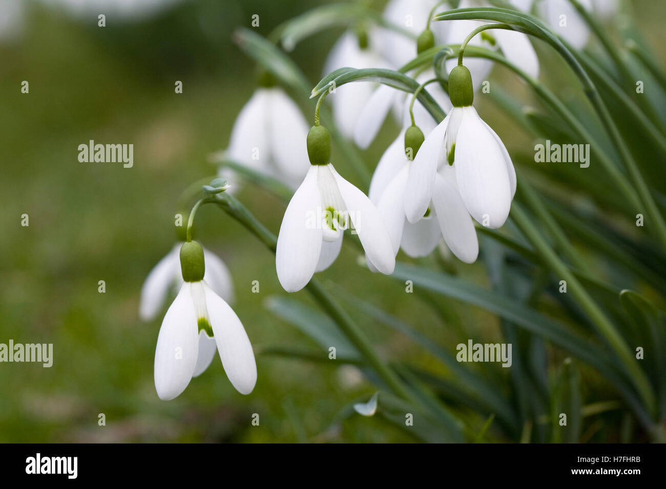 Galanthus Magnet flower. Snowdrops in the garden. - Stock Image
