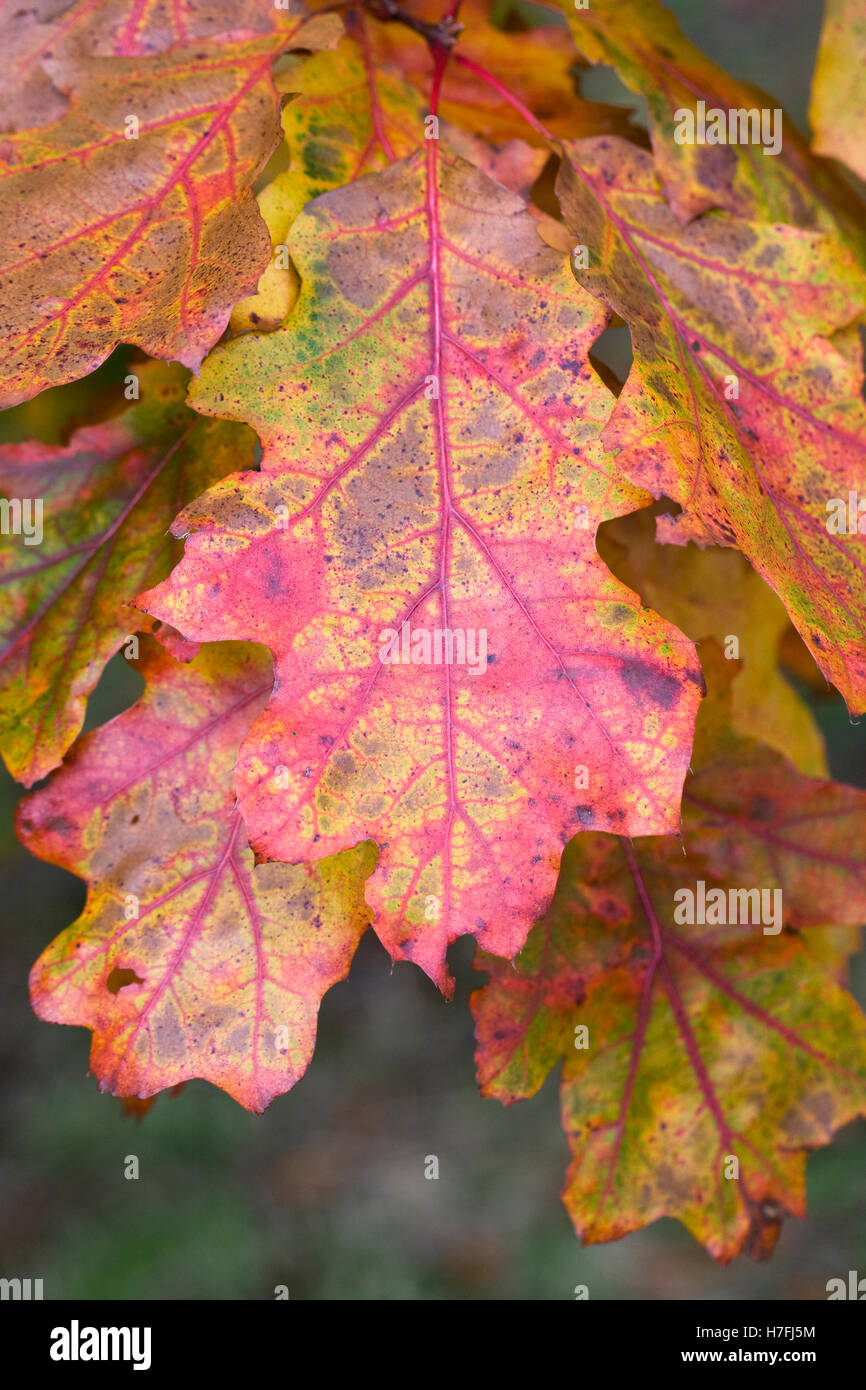Quercus leaves in Autumn. Oak leaves. - Stock Image