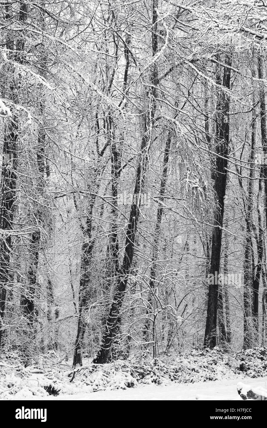 Snow clad trees. Black and White image. - Stock Image