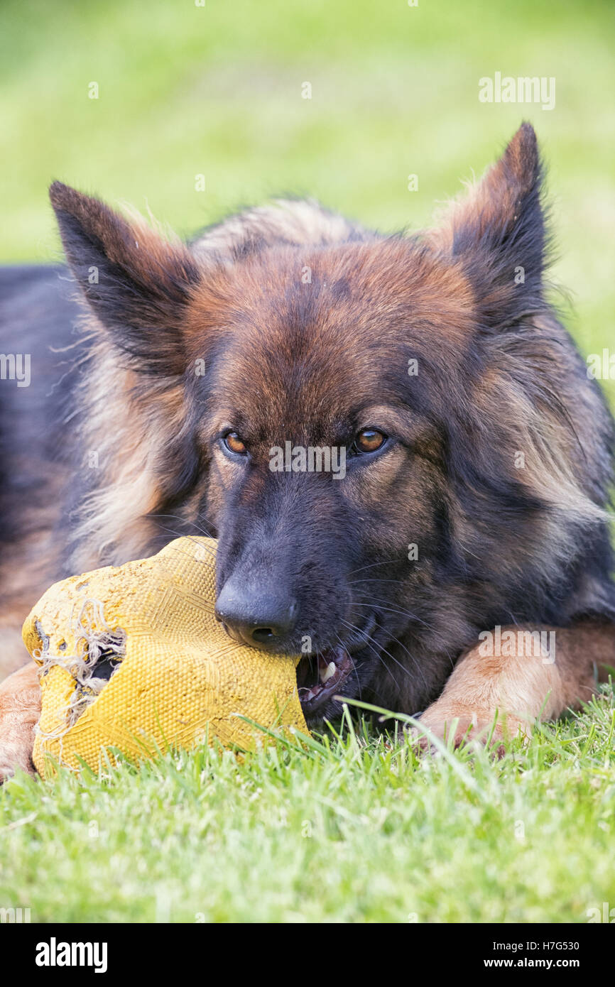 Big dog chewing large football whilst laid down on grass - Stock Image