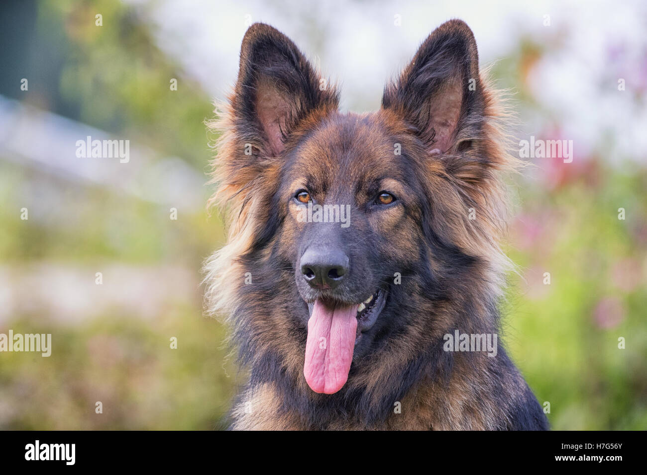 Big dog with his tongue sticking out outside looking at camera - Stock Image