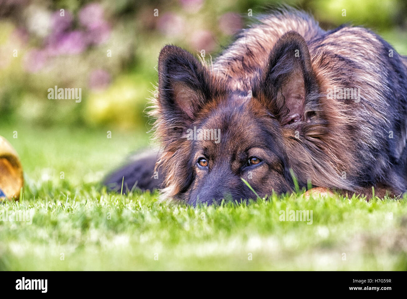 Big dog rests his head on the grass but has his ears up listening - Stock Image