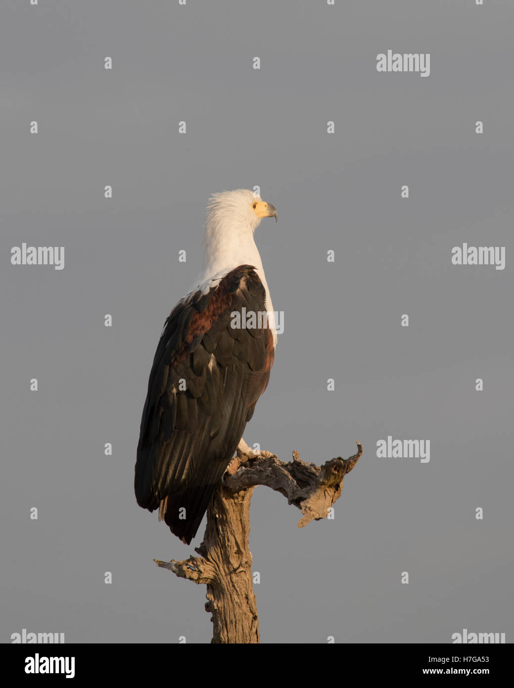 african fish eagle perched on a dead tree in the early morning light