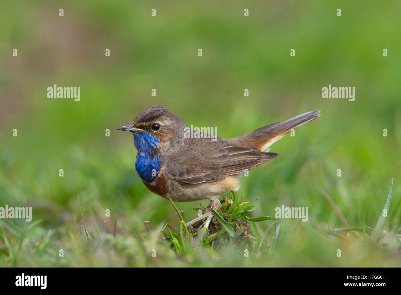 White-spotted bluethroat (Luscinia svecica cyanecula) male on the ground in meadow in spring - Stock Image