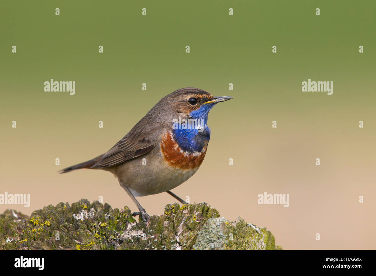 White-spotted bluethroat (Luscinia svecica cyanecula) male perched on fence post in spring - Stock Image