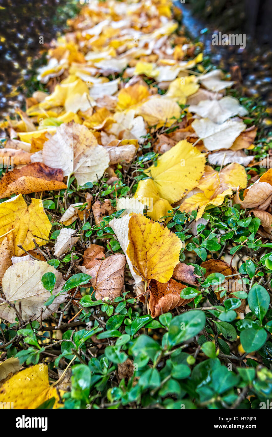 Fallen Autumn leaves on a hedge and the pavement of a street in Warrington, Cheshire, England - Stock Image