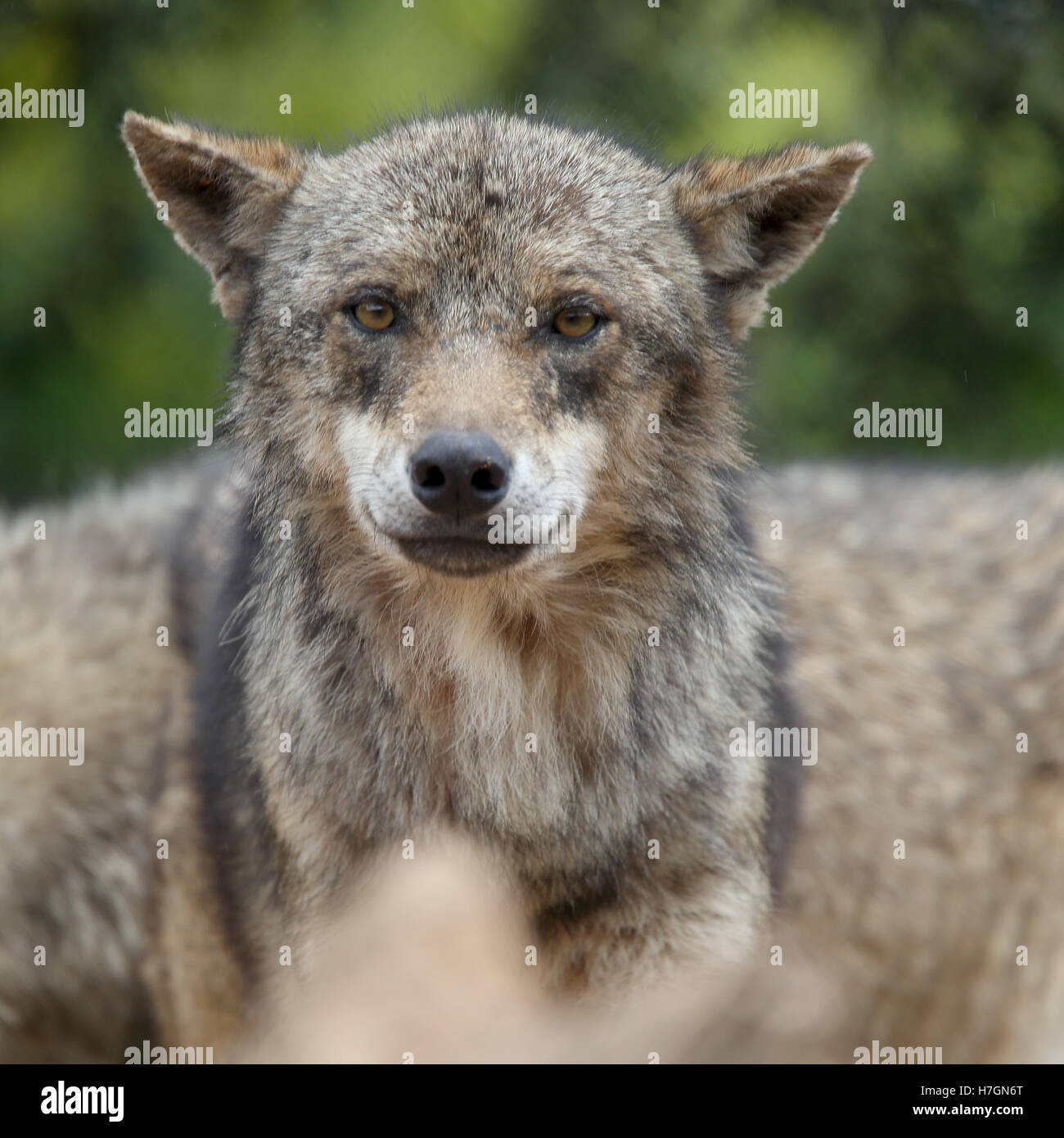 A captive Eurasian Wolf (Canis lupus), Spain. Stock Photo