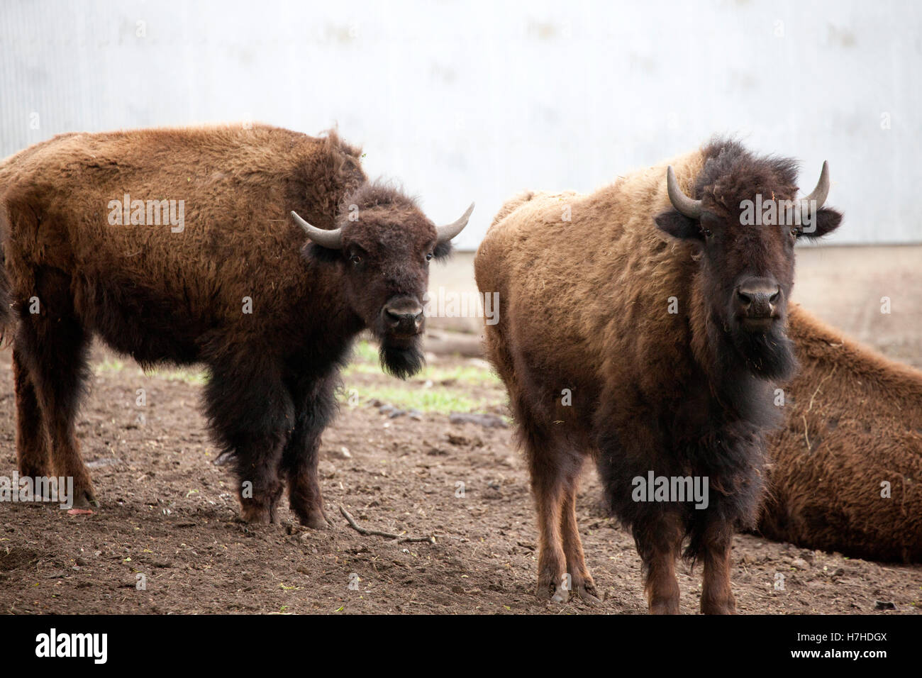 Pair of buffalos in fenced farmyard waiting for their turn at the butcher shop.  Pierz Minnesota MN USA - Stock Image