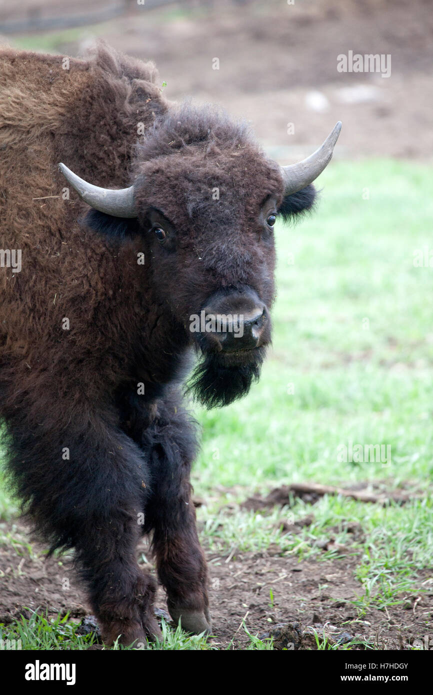 Farm raised buffalo bison photographed from the other side of the fence. Pierz Minnesota MN USA - Stock Image