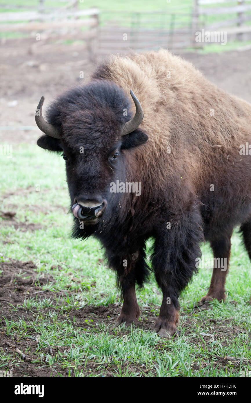 Buffalo bison raised on a ranch for commercial consumption. Pierz Minnesota MN USA Stock Photo