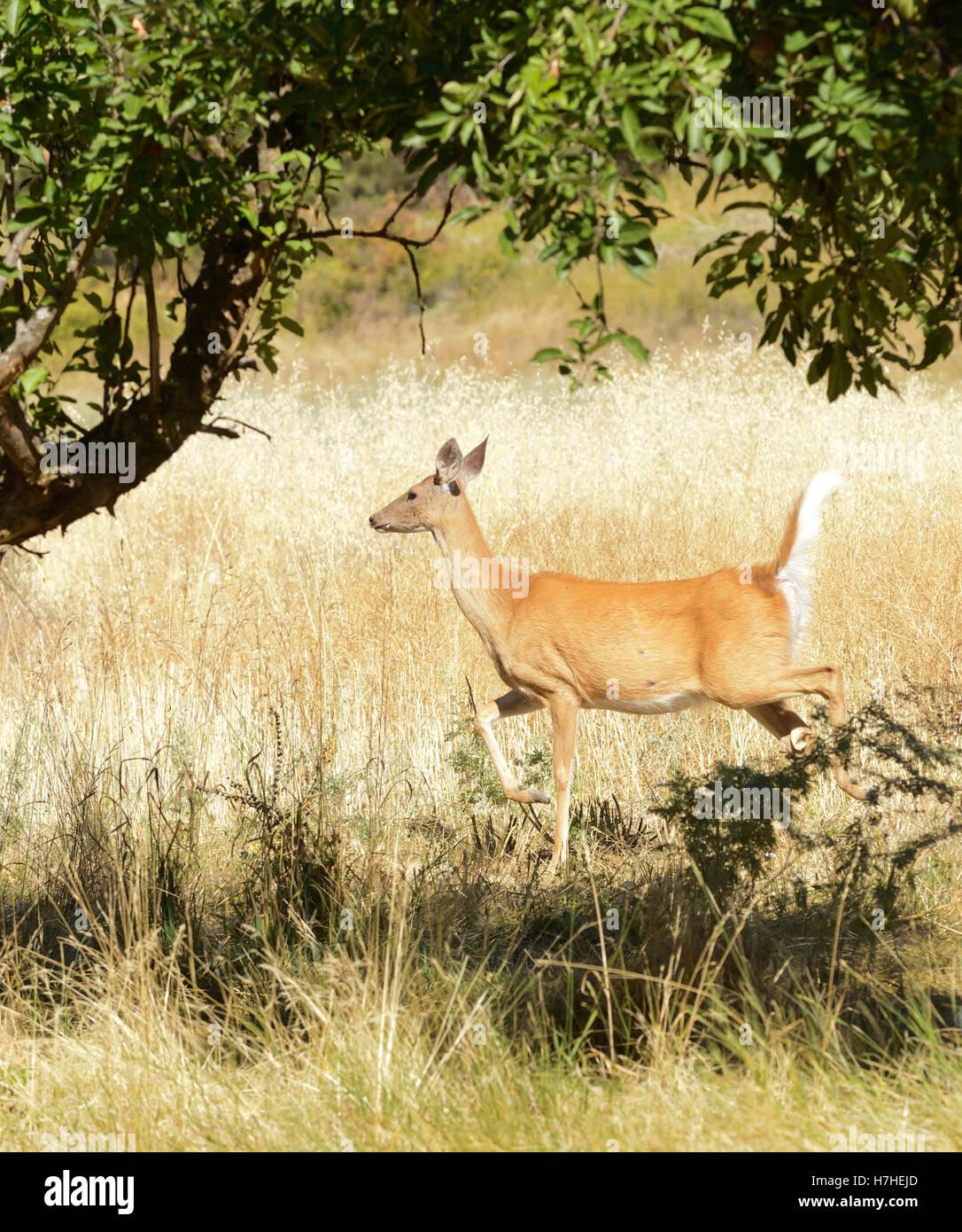 urbanized White-tailed deer  (odocoileus viginianus) - Stock Image