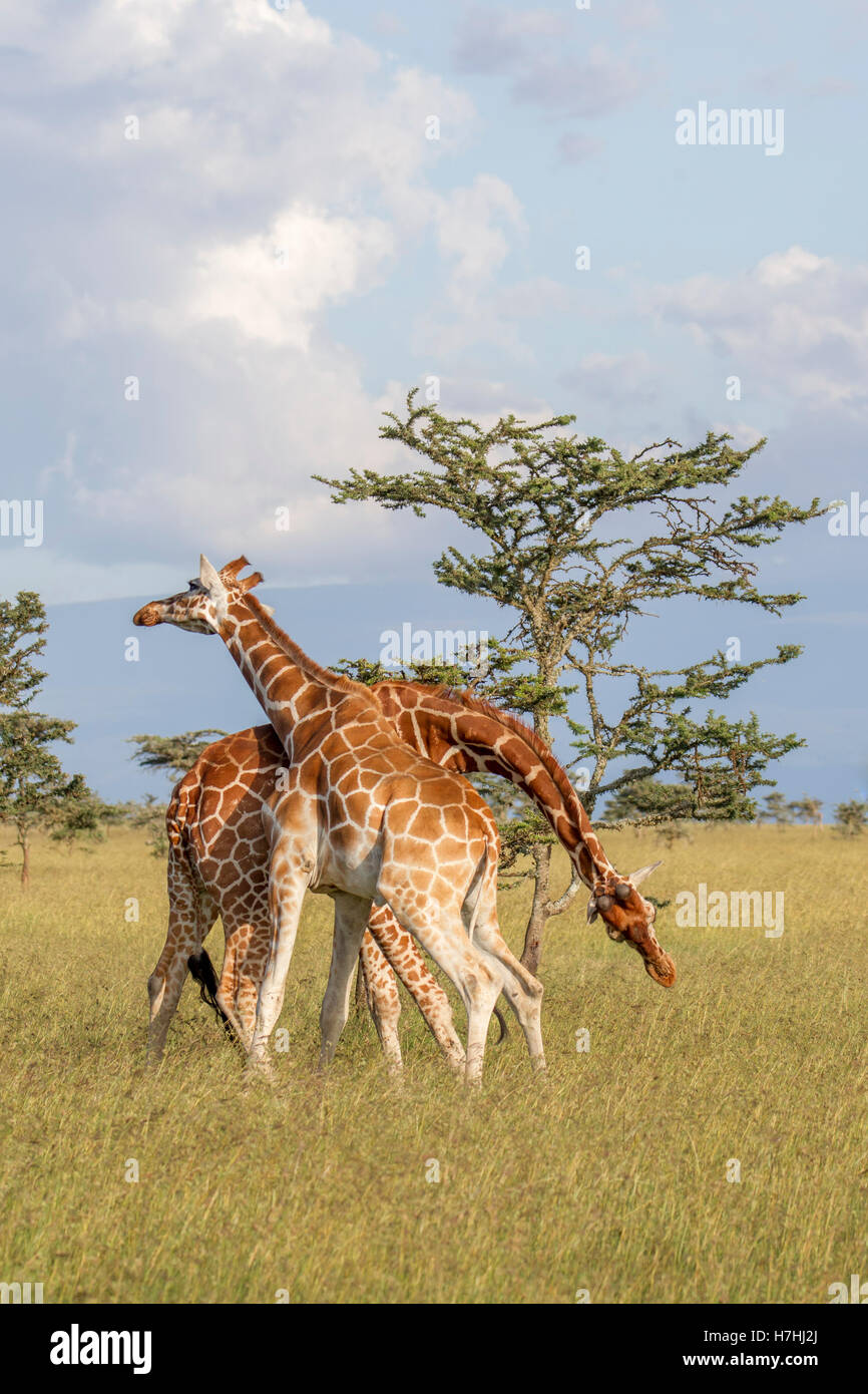 "Two Reticulated giraffe Giraffa reticulata ""Somali giraffe"", both actively neck fighting, Laikipia Kenya East Africa - Stock Image"