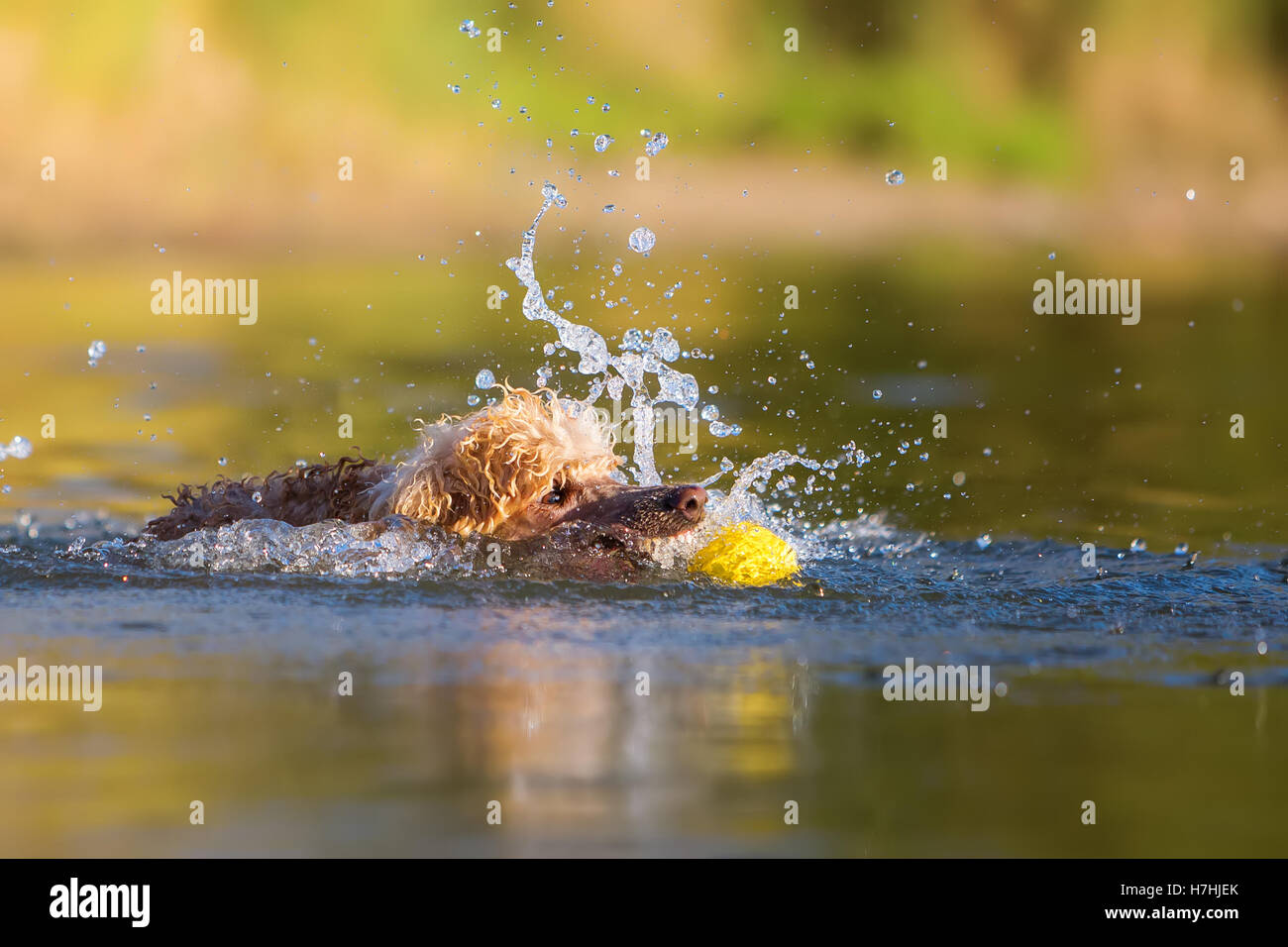 royal poodle playing with a ball in the water Stock Photo