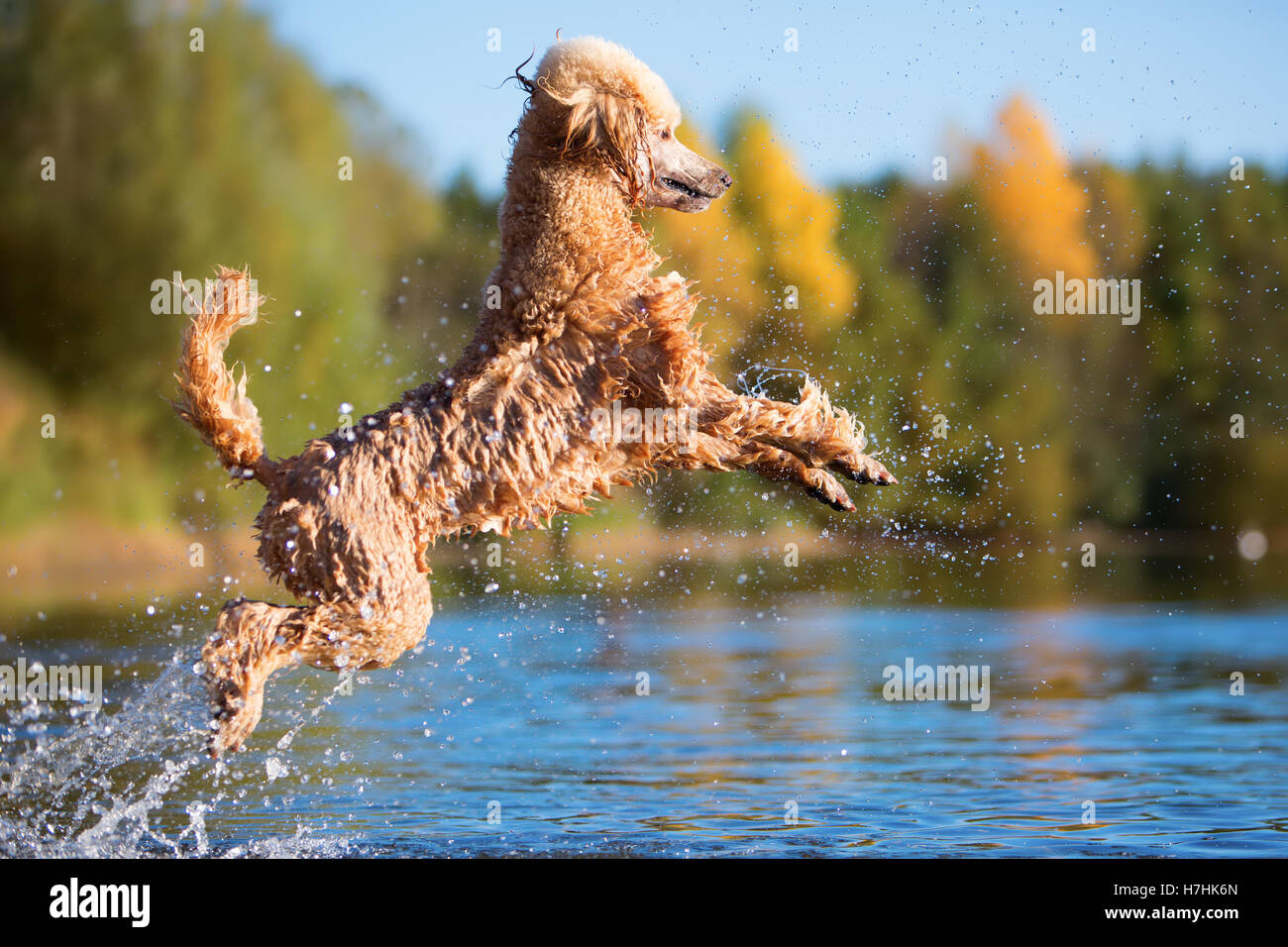 royal poodle is jumping in the water of a lake - Stock Image