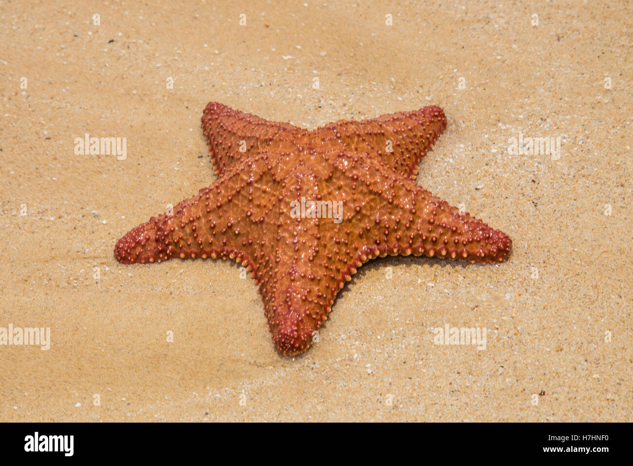 starfish on the sand background - Stock Image