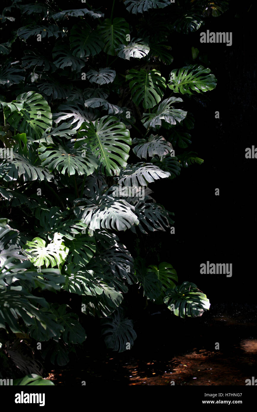 Monstera deliciosa / Swiss Cheese Plant / Ceriman growing up a waterfall in deep shade - Stock Image