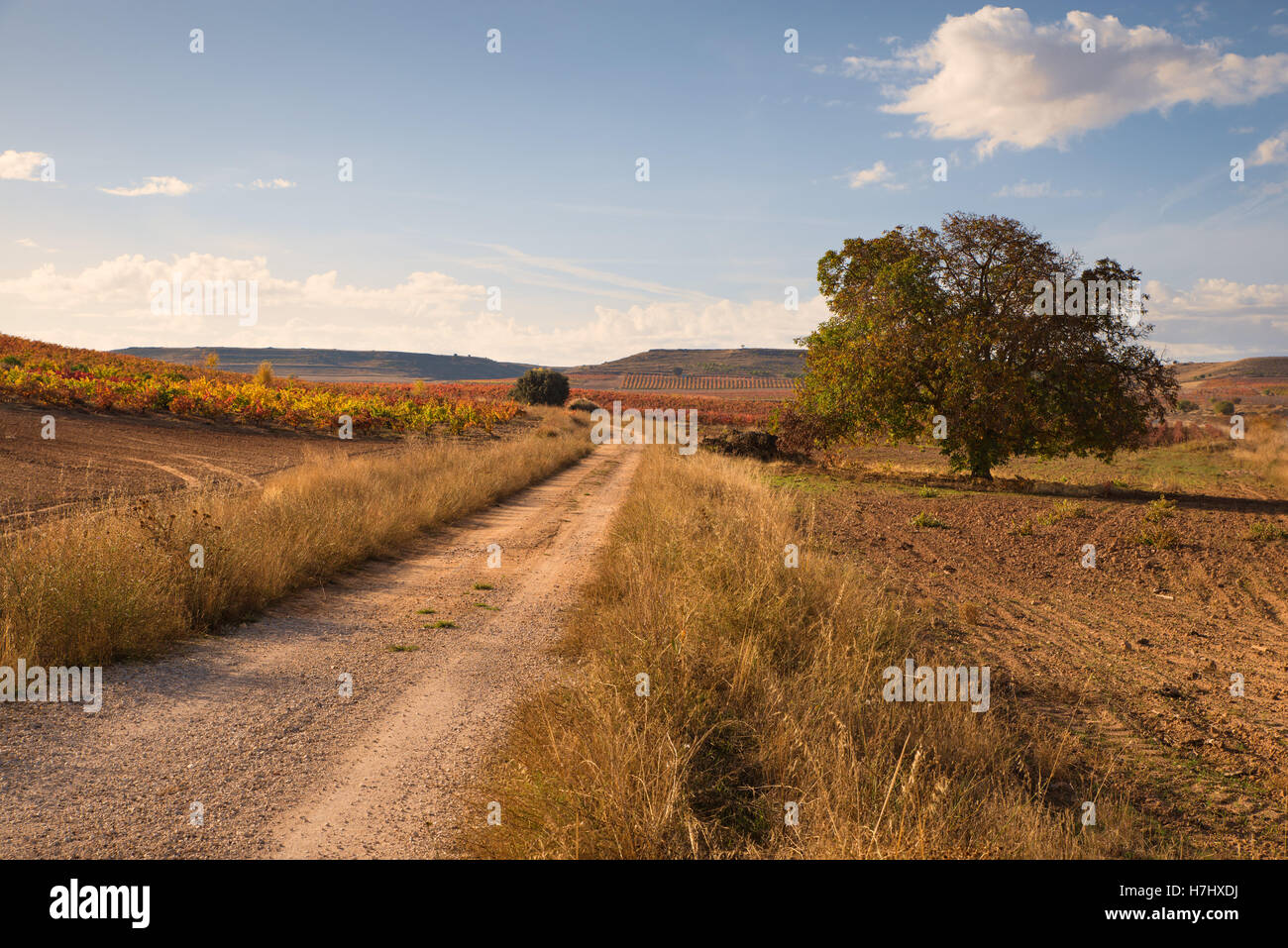 Autumnal landscape with elm, path and vineyard in the background - Stock Image