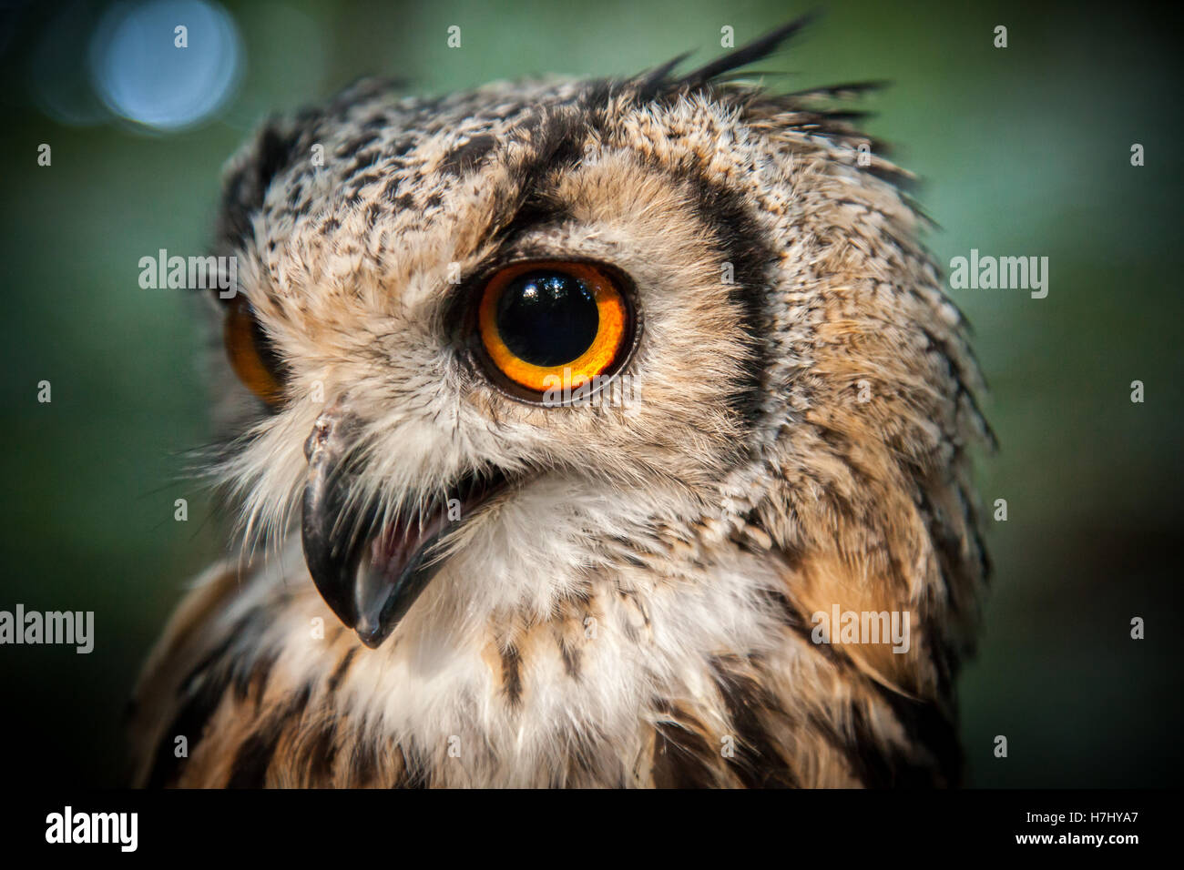 Bengal Eagle Owl in pool of light in wooded area. - Stock Image