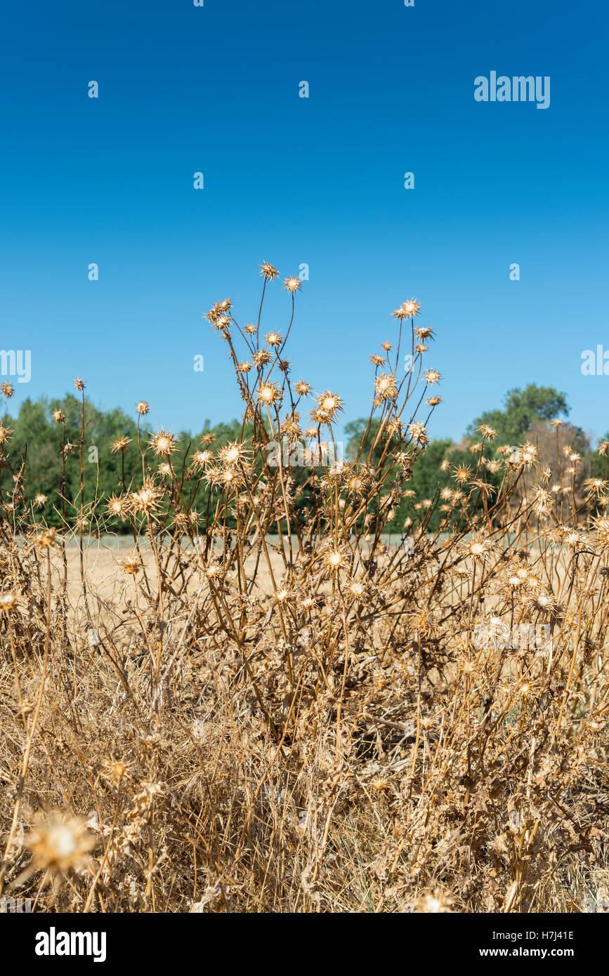 Dry flowers of Milk thistle, Silybum marianum. T - Stock Image