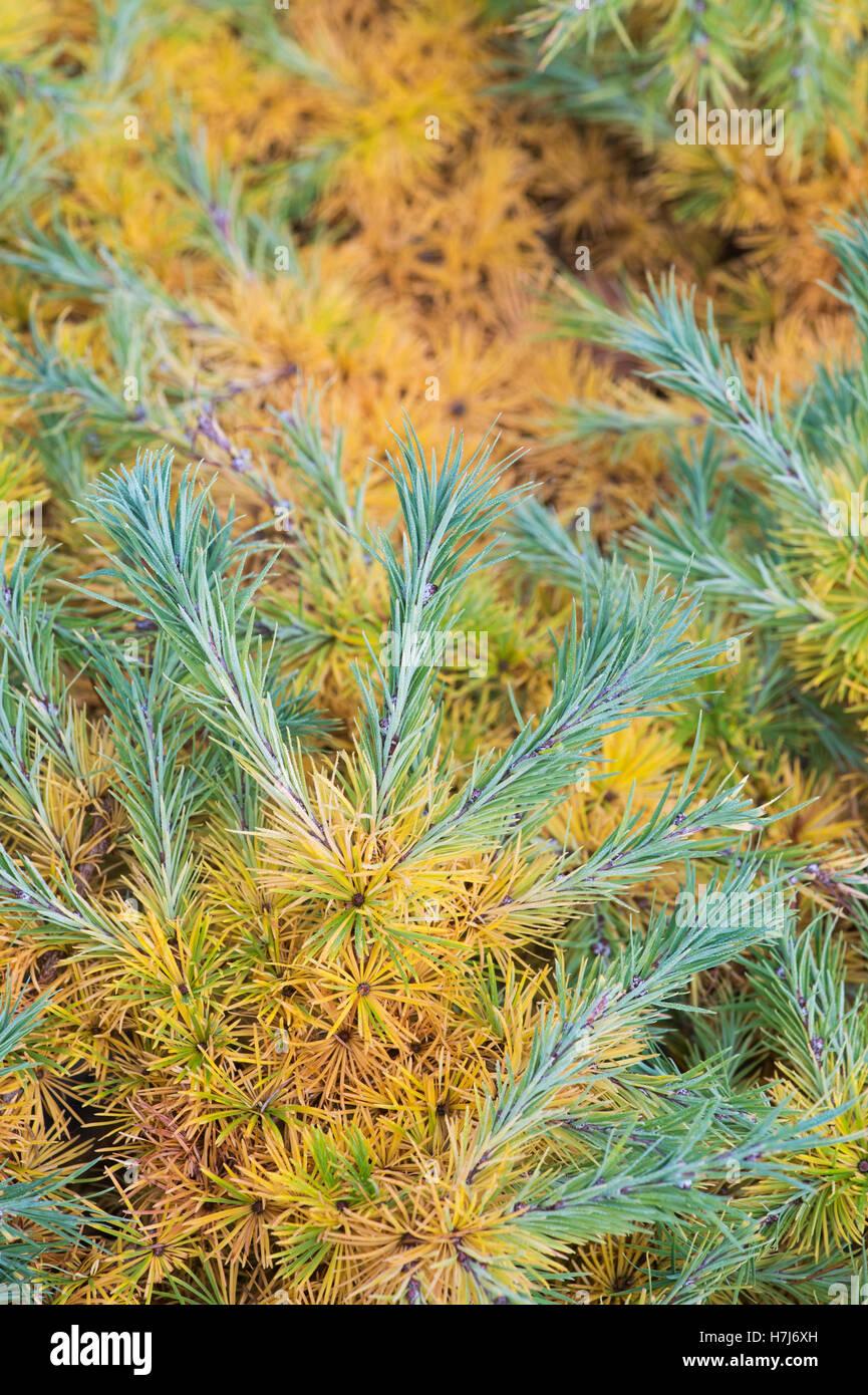 Larix Kaempferi blue dwarf. Dwarf Japanese Larch tree foliage changing colour in autumn Stock Photo