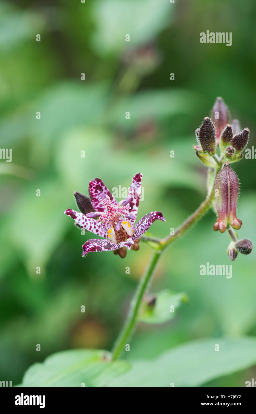 Toad lily flower stock photos toad lily flower stock images alamy tricyrtis hirta taiwan atrianne toad lily flower stock image izmirmasajfo