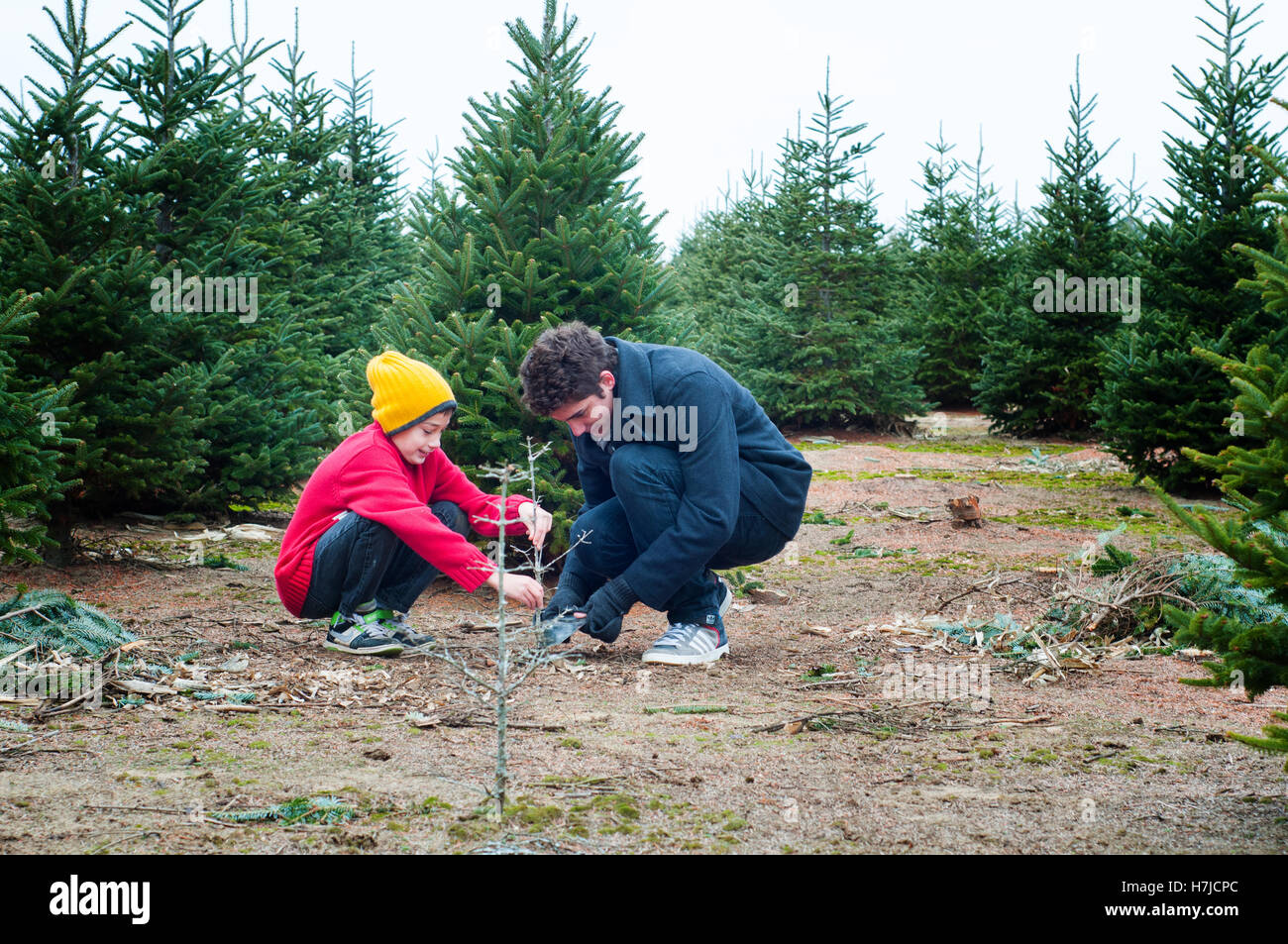 two brothers having fun at a cut your own christmas tree farm stock image - Cut Your Own Christmas Tree Farm