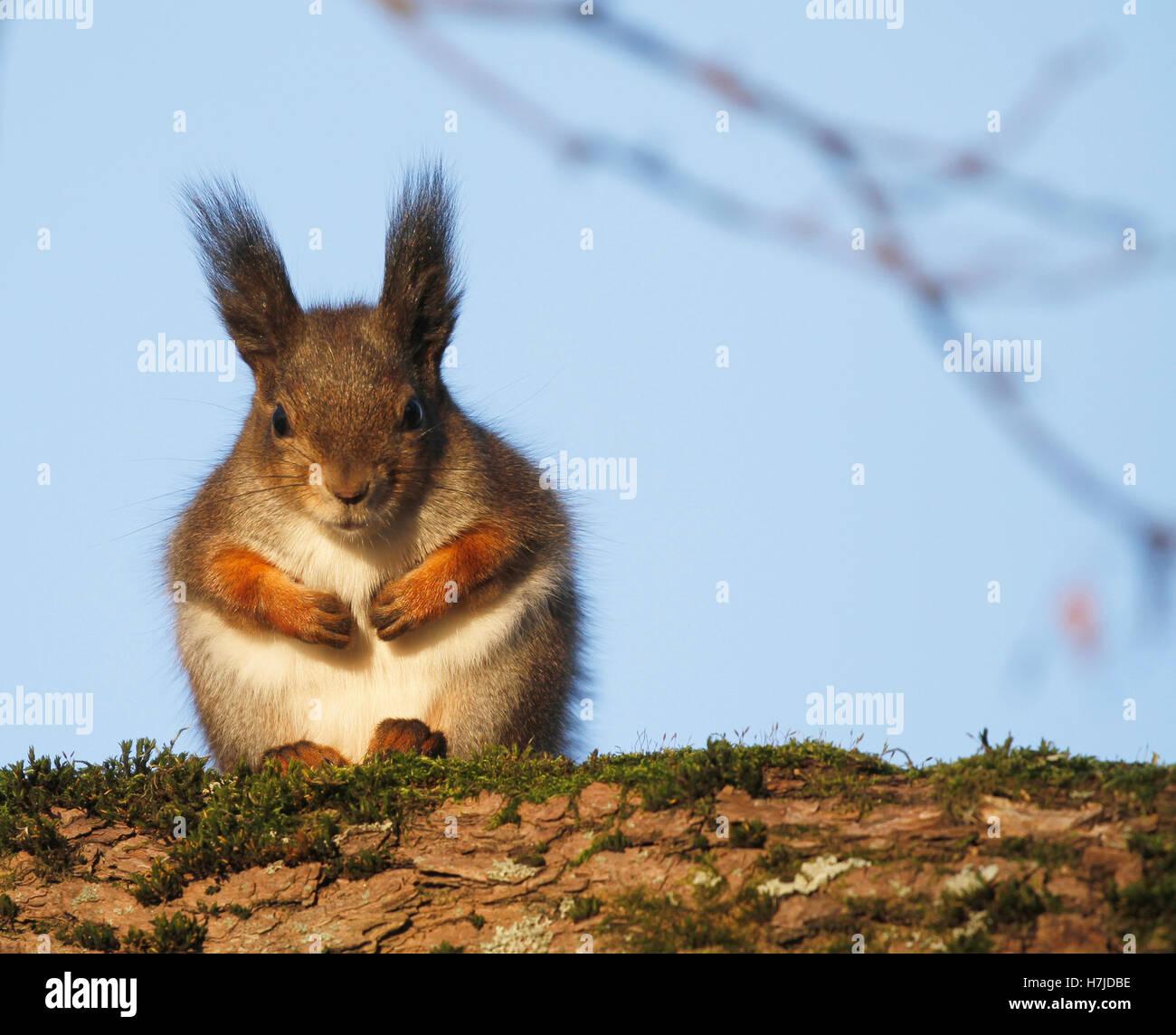 Red Squirrel Sciurus vulgaris sitting on a tree branch in Turku in Finland - Stock Image
