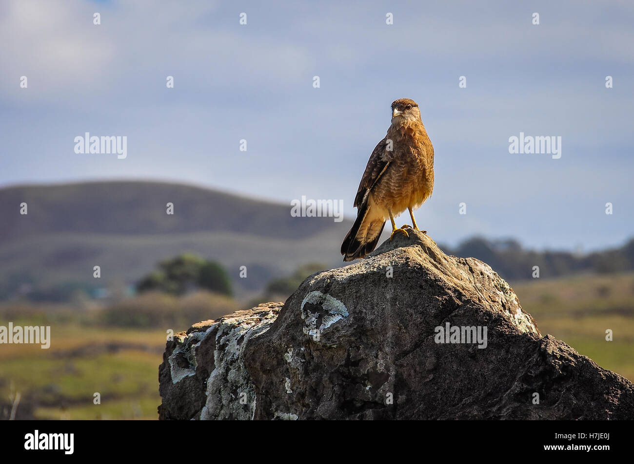 Falcon waiting on the rough coast of Easter Island, Chile - Stock Image