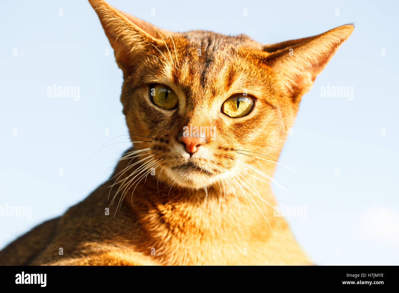 Abyssinian cat - Stock Image