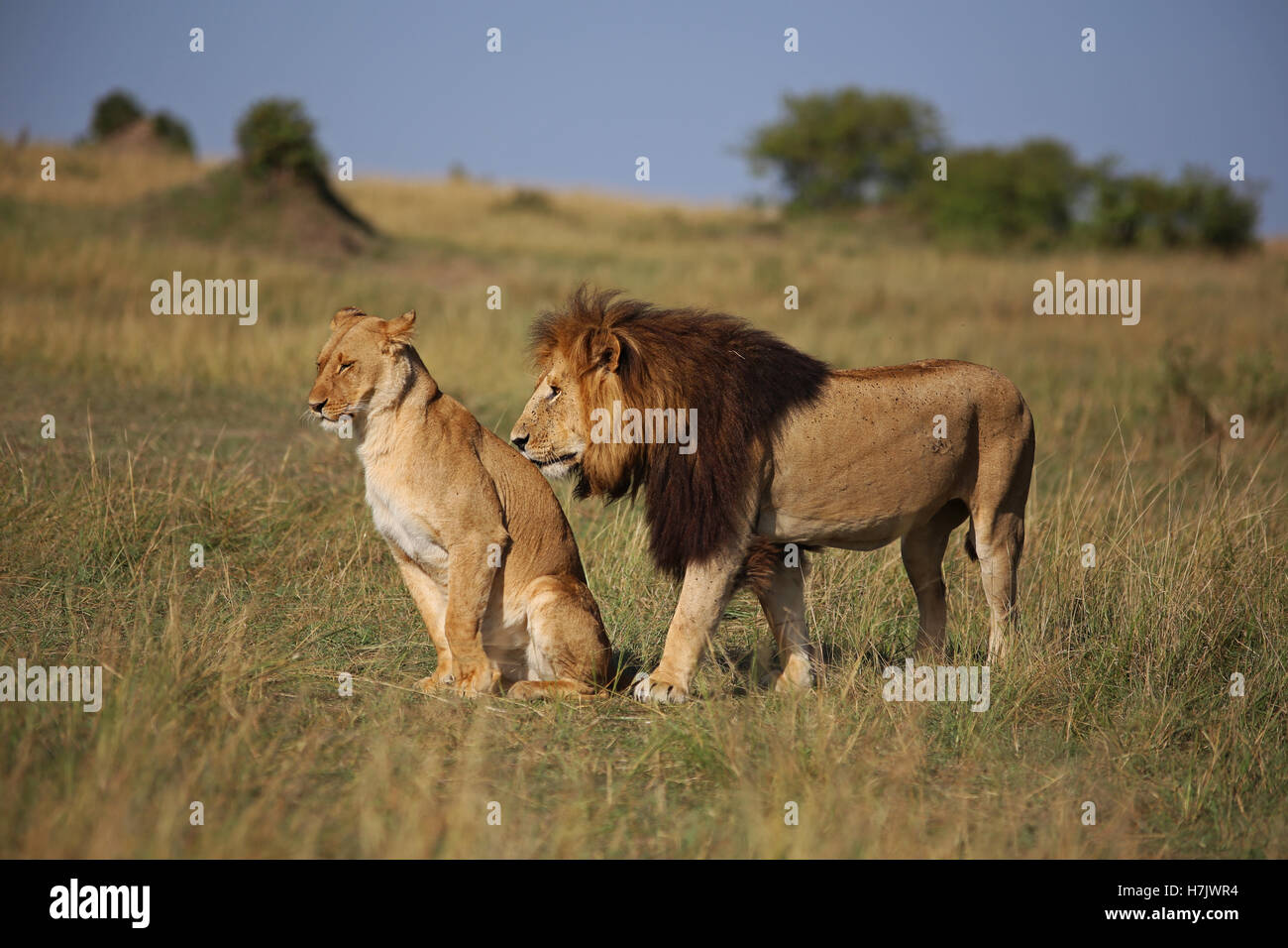 Pair of lions in Masai Mara, Kenya. - Stock Image