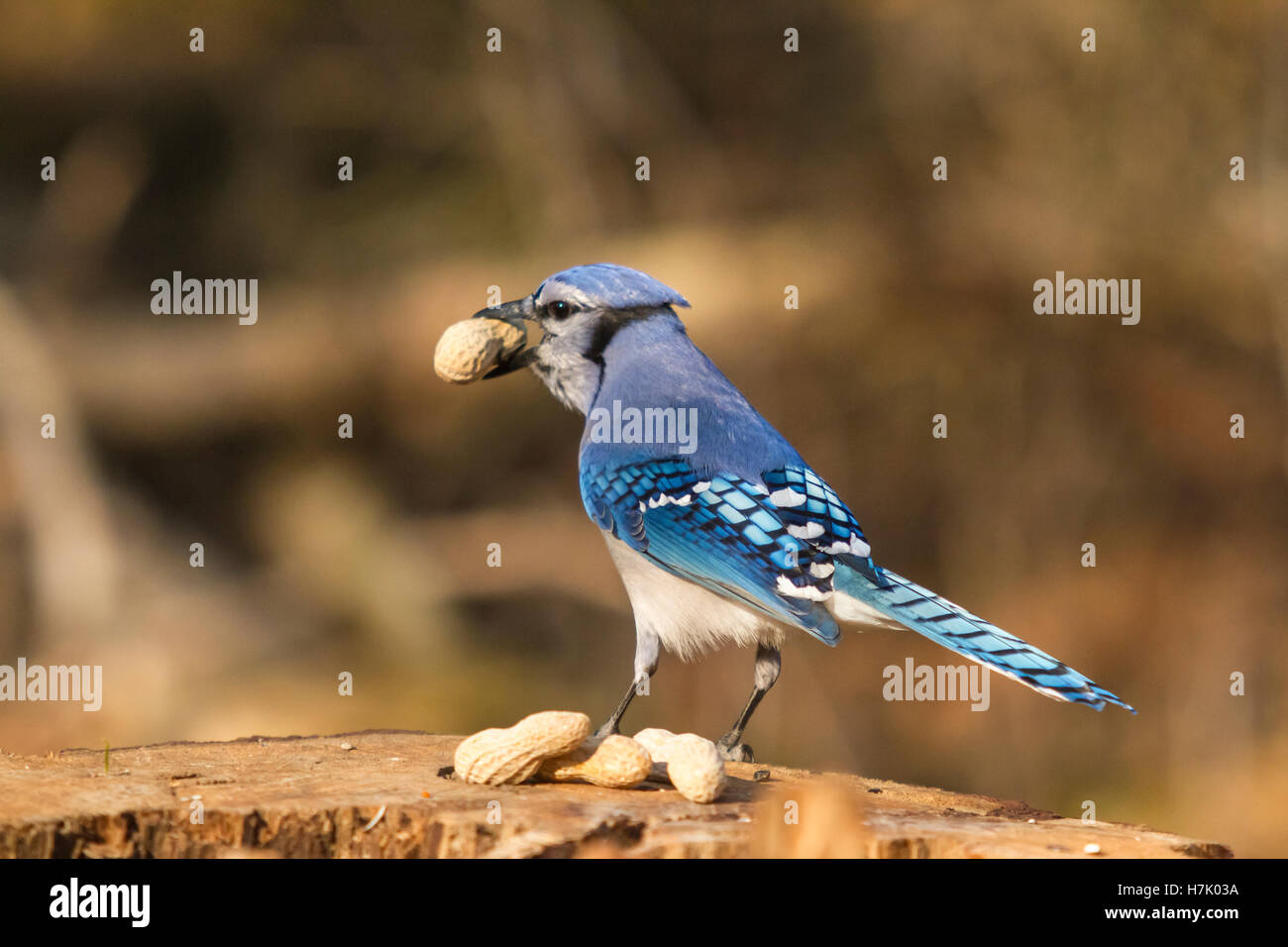 A lone blue jay feeding on some nuts Stock Photo