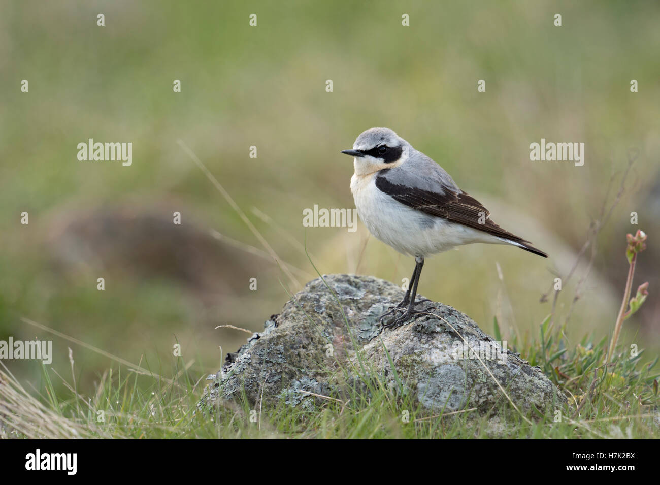 Northern Wheatear ( Oenanthe oenanthe ), male in breeding dress, perched on a rock, in typical surrounding, Europe. Stock Photo