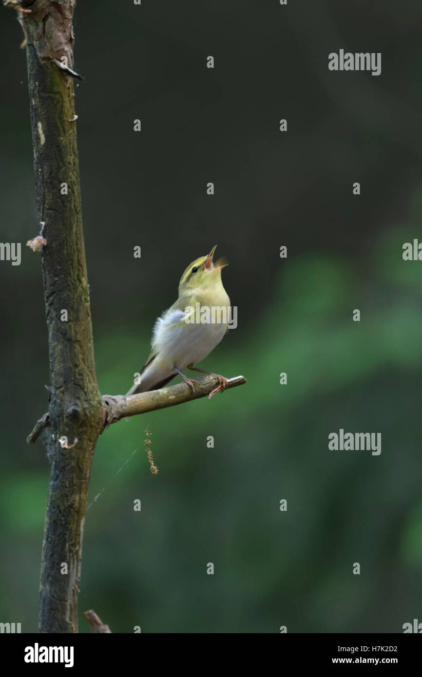 Wood Warbler ( Phylloscopus sibilatrix ), New world Warbler, male, perched on a branch, singing, courting, Europe. Stock Photo