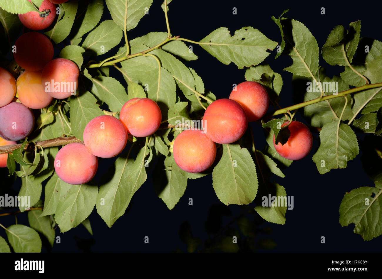 Very clearly seen fruits of the prune tree. High resolution image, taken with flash. - Stock Image