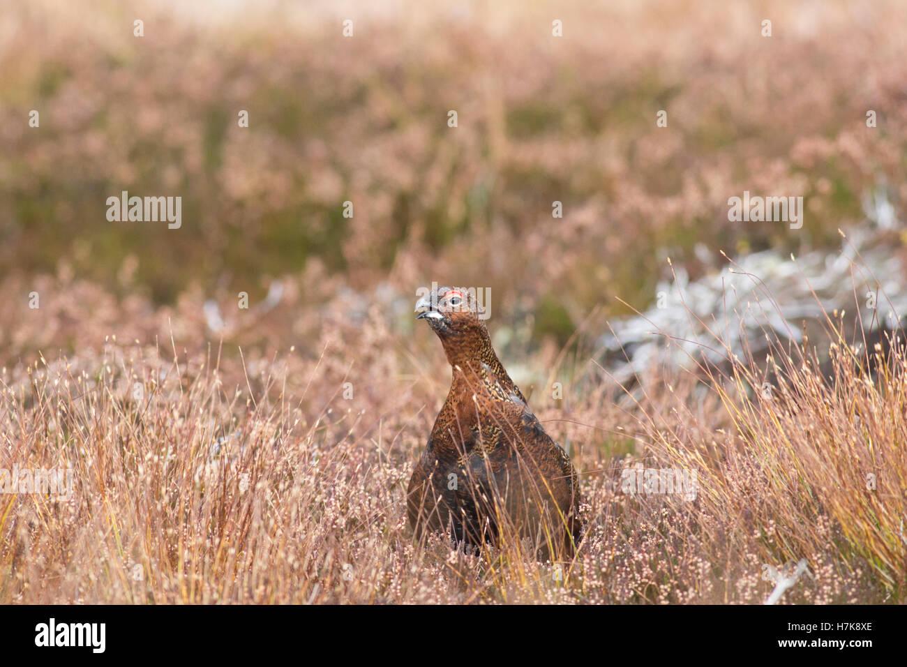 Male Red grouse (Lagopus lagopus scotica), Highlands, Scotland, UK - Stock Image