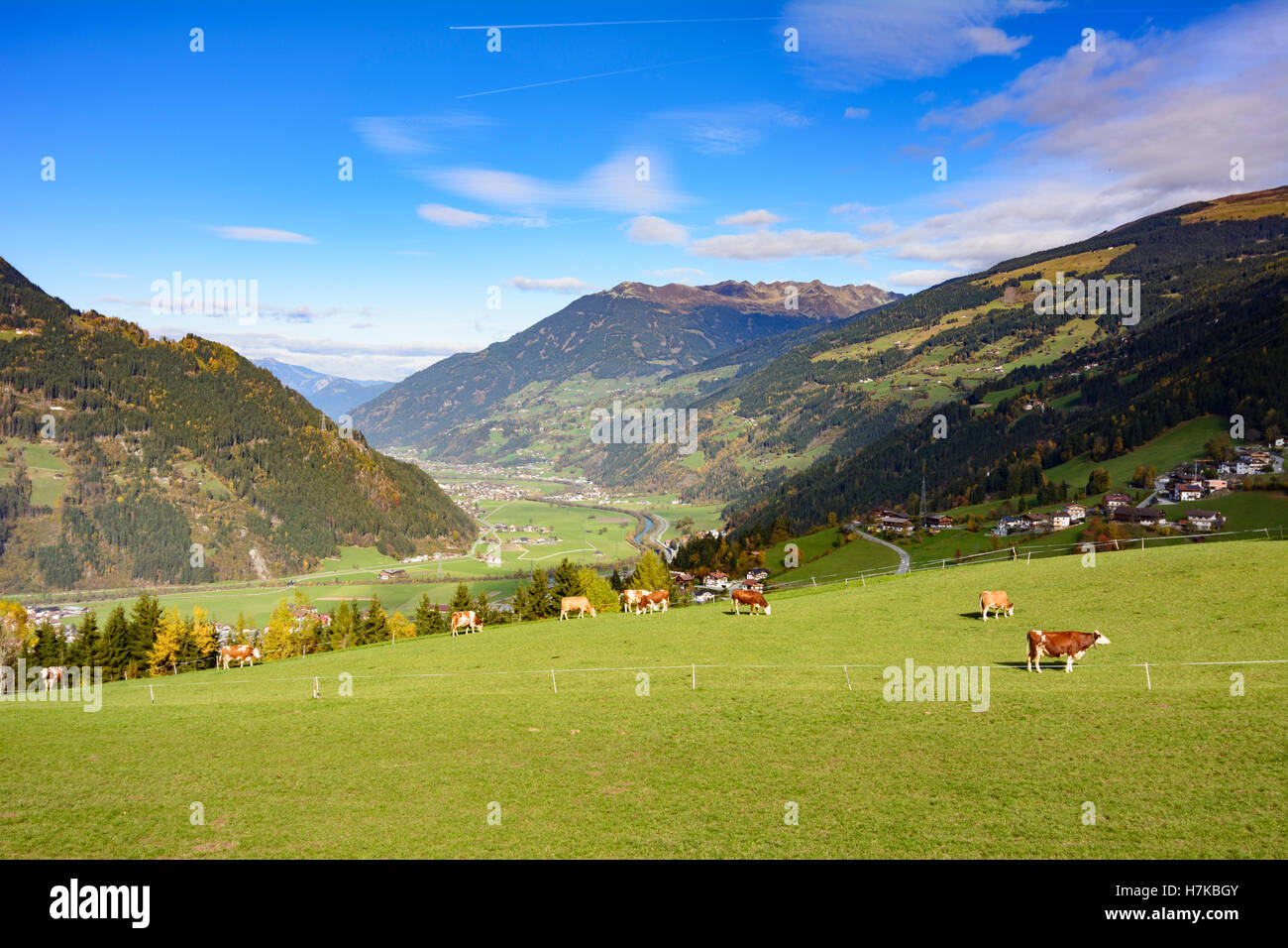 Zell am Ziller: Zillertal valley, alp alpine pasture, cows, Zell-Gerlos, Tirol, Tyrol, Austria - Stock Image