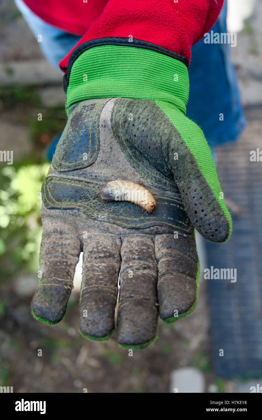 Man holding a larva in his hand in gloves - Stock Image