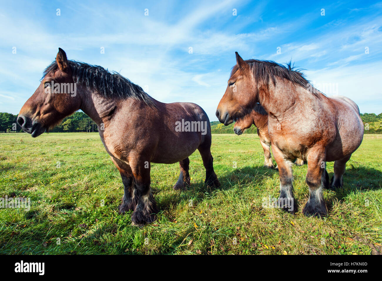The Ardennes or Ardennais horses in a field in the Ardennes region of Belgium. - Stock Image