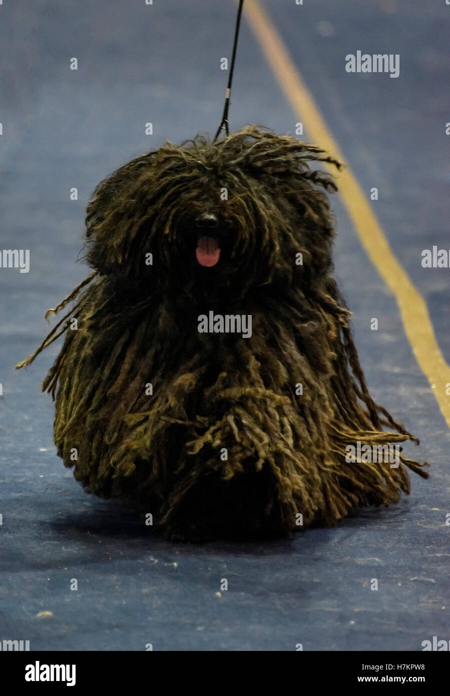 The Puli is a small-medium breed of Hungarian herding and livestock guarding dog known for its long, corded coat. Stock Photo