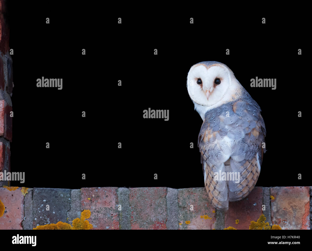 A wild Barn Owl Tyto Alba at entrance to it's nest site Stock Photo