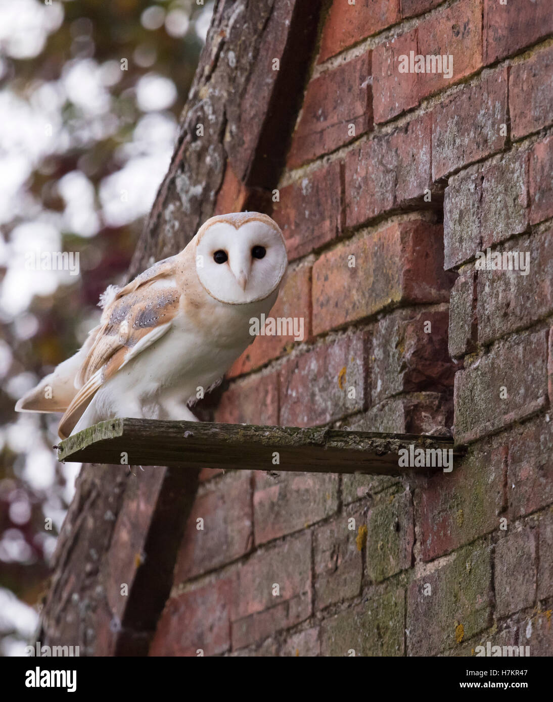 A wild young Barn Owl Tyto Alba at entrance to it's nest site Stock Photo