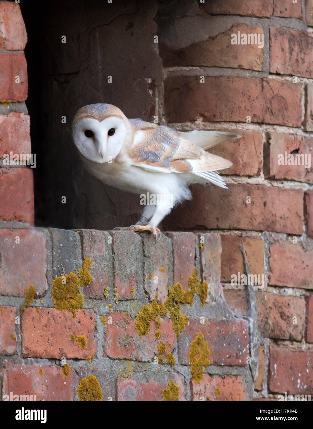 A wild young Barn Owl Tyto Alba lands at entrance to it's nest site after an exploratory flyby Stock Photo