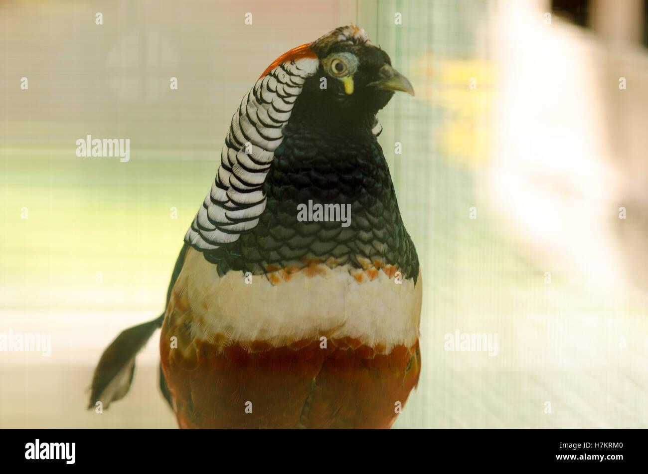 Wild chicken - Stock Image