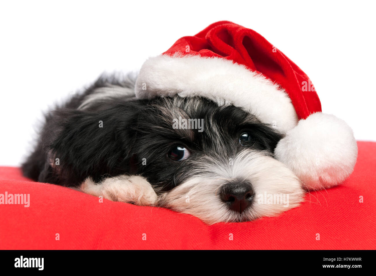 Cute Bichon Havanese puppy dog in Santa hat is lying on a red cushion - Stock Image