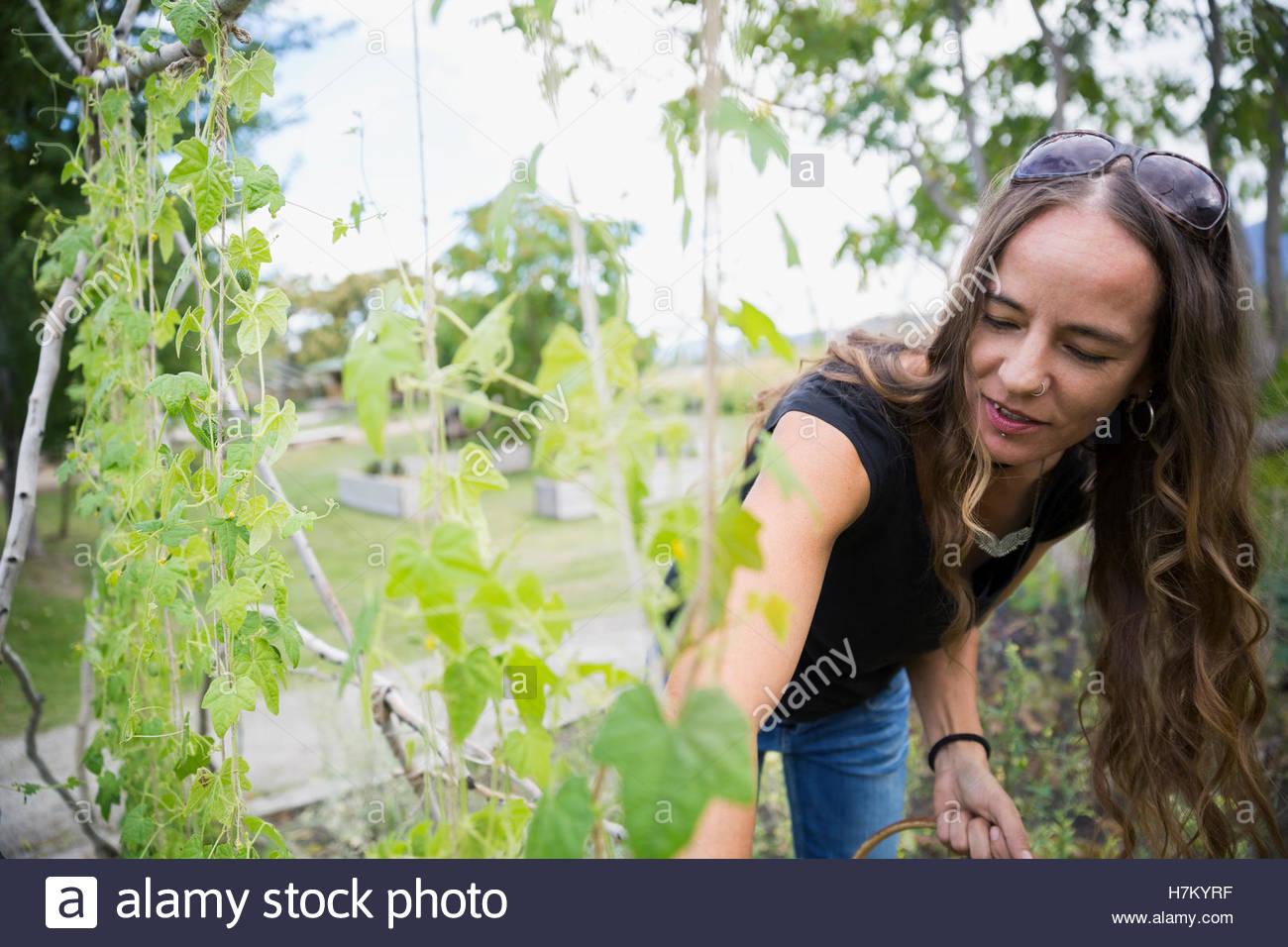 Woman gardening harvesting in vegetable garden - Stock Image