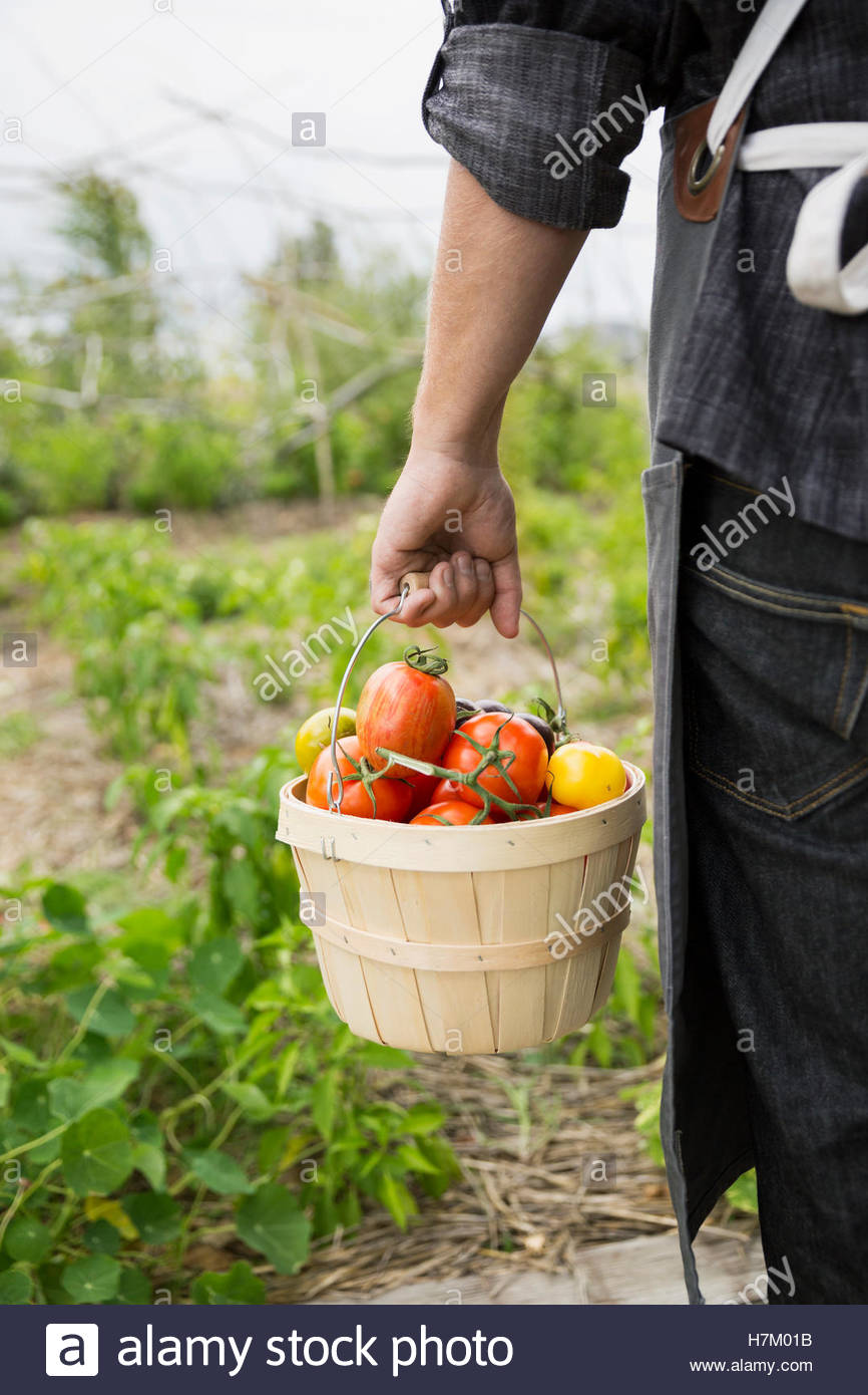 Farm-to-table chef carrying bushel of fresh harvested tomatoes in vegetable garden Stock Photo