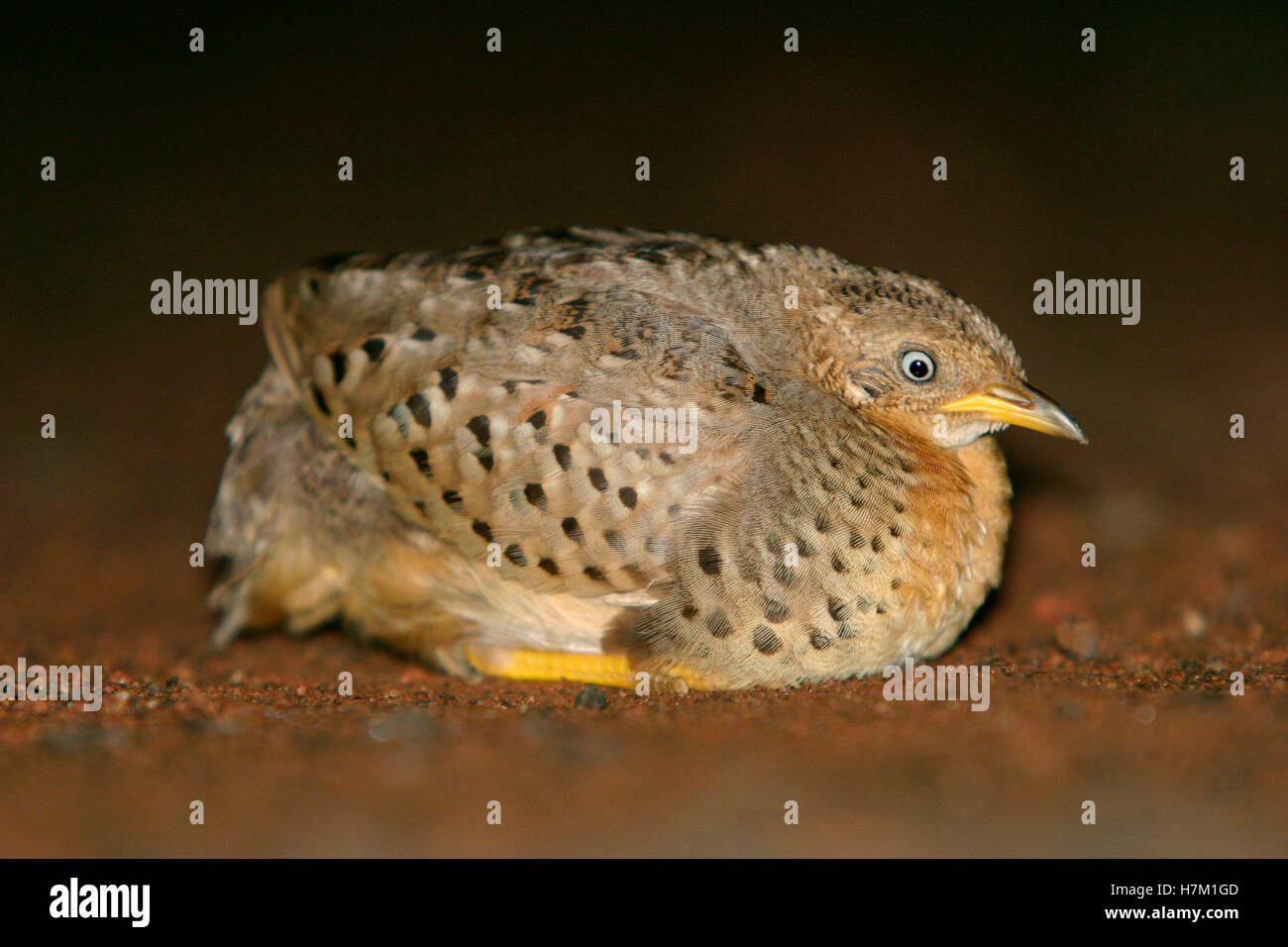 Bart Button Quail - Stock Image