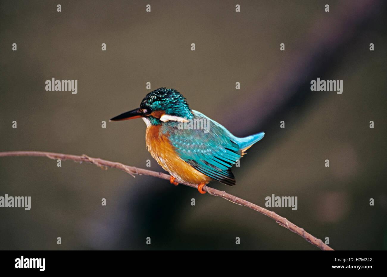 Common Kingfisher, Alcedo atthis, at Keoladev National Park, Bharatpur, Rajasthan, India. - Stock Image