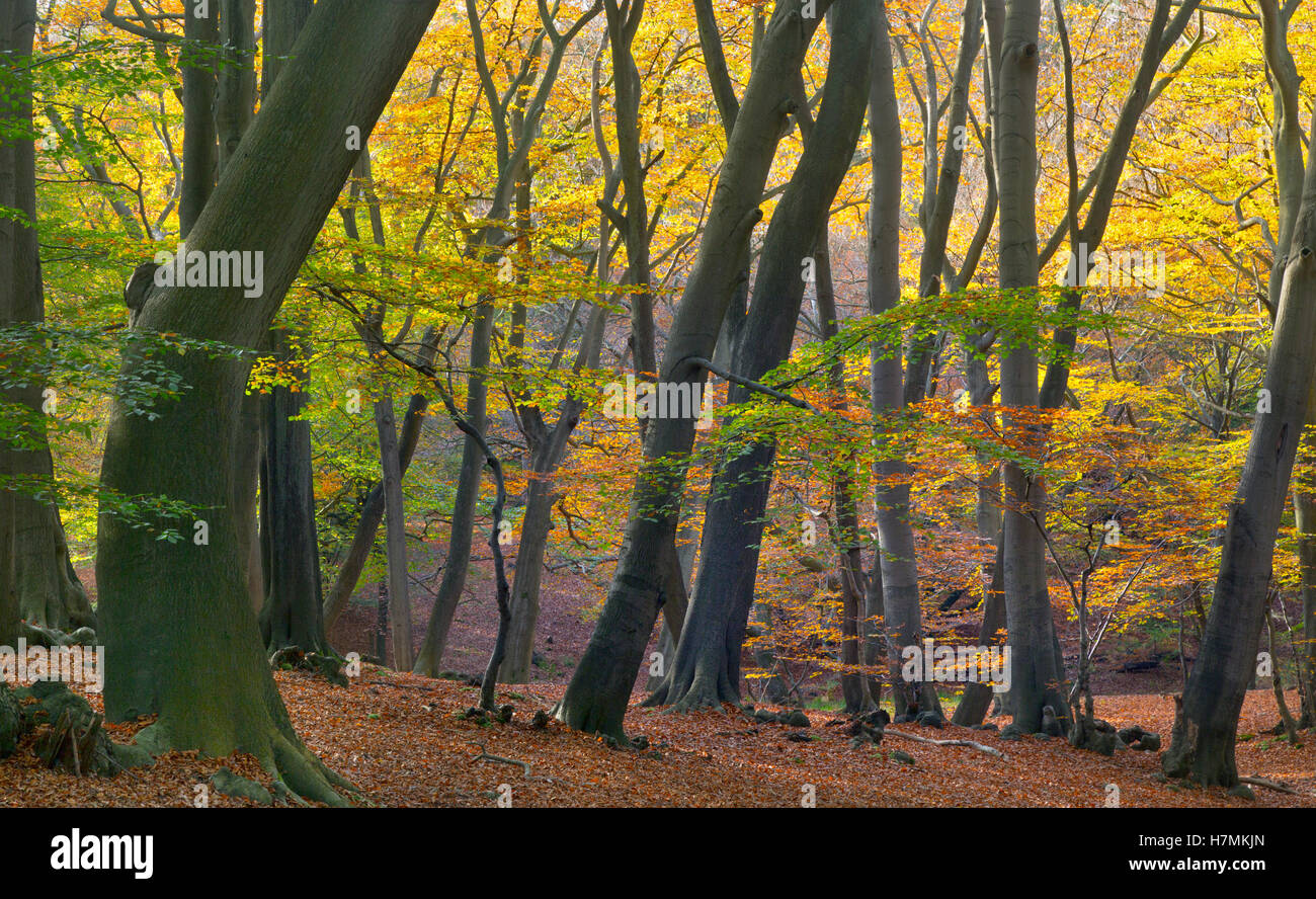 Epping Forest Essex Near London Beeches Fagus sylvatica in Autumn - Stock Image