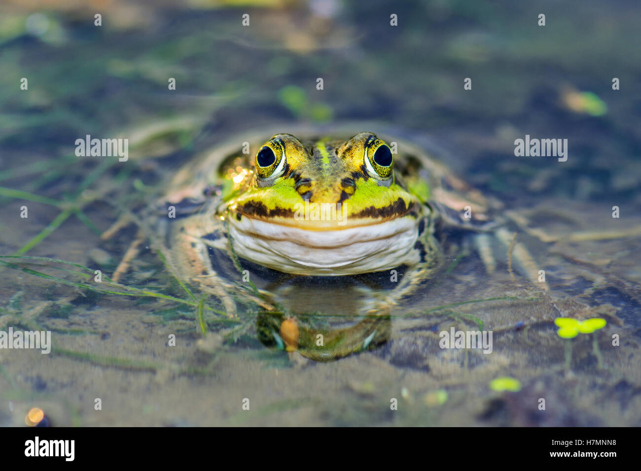 Frog Sitting in Pond - Stock Image